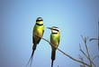 Ug Two Rb Bee Eaters 0468