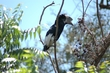 Ug Black White Casqued Hornbill 0022