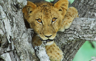 Selous Lion Cub4w
