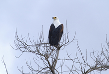 Selous Fish Eagle