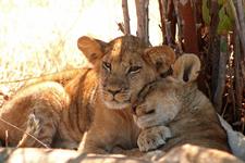 Mdonya Lion Cubs