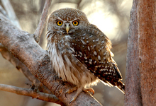 Ruaha Pearl Spotted Owlet