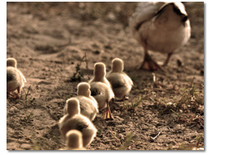 Pdo Ducklings Pic18 with frontiers Ltd