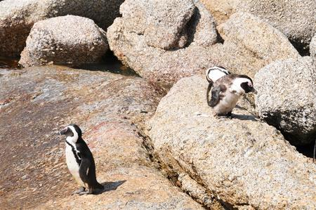 frontiertours -Simonstowns Pinguins